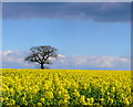 SP2567 : Rapeseed Field at Turkey Farm by Nigel Mykura