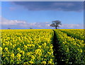 SP2567 : Oilseed-rape at Turkey Farm by Nigel Mykura