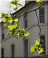 SX9164 : Plane tree, Union Street, Torquay by Derek Harper