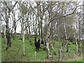 NZ1347 : Black cattle grazing amongst silver birch by Christine Johnstone