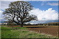 ST9296 : Large oak tree by Philip Halling
