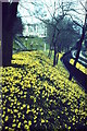 NJ9306 : Daffodils, Union Terrace Gardens by Colin Smith