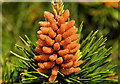 J3368 : Pine cones, Belfast by Albert Bridge