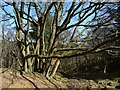 SE1563 : Multi-stemmed tree, Skrikes Wood by Derek Harper