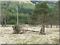 NN3230 : Fallen pine near Tyndrum by M J Richardson