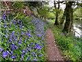 H4772 : Bluebells along the Camowen : Week 20