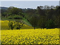 SU7548 : Downland Oilseed Rape Field by Colin Smith