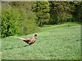 SK2269 : Cock pheasant strutting on Bakewell Golf Course by Neil Theasby