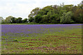 TF6733 : Bluebell Field, Snettisham, Norfolk by Christine Matthews