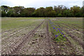 TF6633 : Bluebell Field, Paper Hall Farm, Snettisham, Norfolk by Christine Matthews