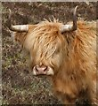 NG2442 : Highland Cow at Orbost : Week 21