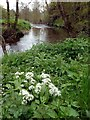 SK0147 : Wild garlic by the River Churnet  by Graham Hogg