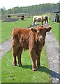 SK2774 : Highland calf on track to Blackstone Edge by Neil Theasby