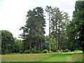 SP9911 : A Ring of Fir Trees in the Gardens at Ashridge House by Chris Reynolds