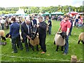 NY9963 : Judging the Suffolk sheep class, Northumberland County Show, 2012 by Oliver Dixon