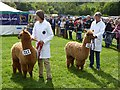 NY9963 : Junior brown males, Northumberland County Show, 2012 by Oliver Dixon