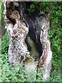 TF7413 : Hollow oak tree by the Nar Valley Walk by pam fray