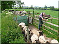 SP3463 : Sorting the Sheep (2) by Nigel Mykura