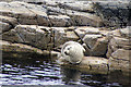 HP5704 : Common Seal (Phoca vitulina), Westing by Mike Pennington