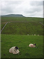 SD8173 : Sheep pasture beside Horton Scar Lane by Karl and Ali