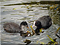 SD7908 : Coots by David Dixon