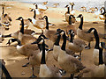 SD8303 : Canada Geese, Heaton Park Lake by David Dixon