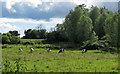TL8407 : Pasture with cows near Beeleigh Abbey by Roger Jones