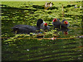 SD7807 : Coot with Chicks by David Dixon