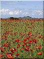 ST6431 : Poppies : Week 26