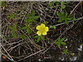 SK5634 : Common Cinquefoil (potentilla reptans)  by Alan Murray-Rust