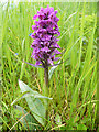 NJ2155 : Northern Marsh Orchid (Dactylorhiza purpurella) by Anne Burgess