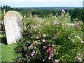 TQ7749 : Roses in Boughton Monchelsea Churchyard by Marathon