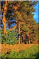 SK0061 : Row of Pine Trees by Mick Garratt