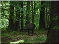 SO6611 : Wild boar in the Forest of Dean by Jeremy Bolwell