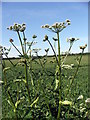 NZ3173 : Hogweed by Christine Westerback