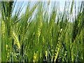 NZ3174 : Barley Close Up by Christine Westerback
