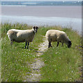 TA1125 : Sheep on the Humber Bank Footpath by David Wright