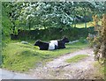SX6976 : Belted Galloways near Rowden by Derek Harper