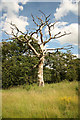 TF0320 : Dead tree in Grimsthorpe Park by Richard Croft