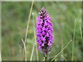 SS4636 : Wild flower, Braunton Burrows by David P Howard