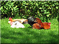 TL9847 : Churchyard chickens, Chelsworth by Evelyn Simak