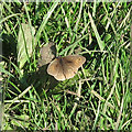 TQ6191 : Meadow Brown by Roger Jones