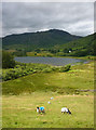 NY3103 : Sheep grazing above Little Langdale Tarn by Karl and Ali
