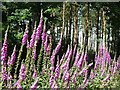 NZ0158 : Foxgloves and Scots Pine by Joan Sykes
