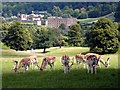 SK2469 : Fallow deer in Chatsworth Park by Graham Hogg