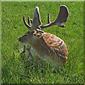 TQ5694 : Fallow deer  by Roger Jones