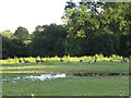 SJ7661 : Geese and temporary pond by Stephen Craven