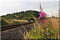 TG2338 : Fireweed by the Bittern Line near Northrepps by Chris
