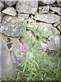 NJ5107 : Thistle and dry stone wall by Stanley Howe
