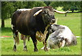 SJ5351 : Longhorn bull at Cholmondeley Castle Gardens by pam fray